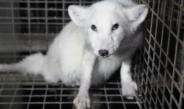 Fourrure animale : quelles marques l'ont déjà bannie ?