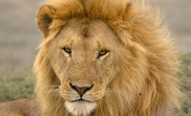 Disney s'engage à sauver les lions
